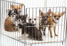 Chihuahuas in cage Stock Photography