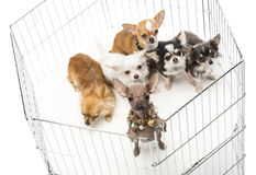 Chihuahuas in cage Stock Image