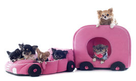Chihuahuas in car Royalty Free Stock Photos