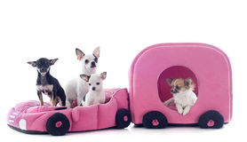 Chihuahuas in car Stock Photography