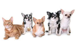 Chihuahuas and cat in studio Royalty Free Stock Image