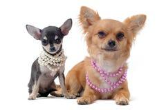 Chihuahuas com colar da pérola Imagens de Stock Royalty Free