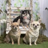 Chihuahuas com colar decorativo Foto de Stock Royalty Free
