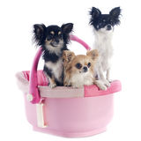 Chihuahuas in cosy Royalty Free Stock Images