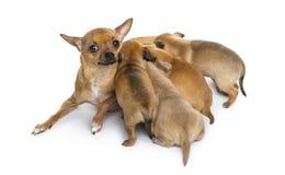 Chihuahuas de la madre y de los bebés Fotos de archivo
