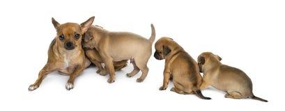 Chihuahuas de la madre y de los bebés Fotografía de archivo