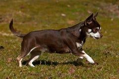 Chihuahuas die op een gazon lopen Stock Foto