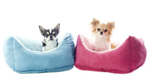 Chihuahuas and dog bed Royalty Free Stock Images