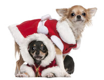 Chihuahuas Dressed In Santa Outfits Stock Photo