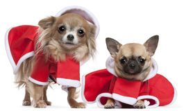 Chihuahuas dressed in Santa outfits Royalty Free Stock Image