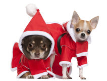 Chihuahuas dressed in Santa outfits Stock Photography