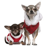 Chihuahuas dressed in Santa outfits Royalty Free Stock Photo