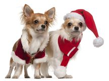 Chihuahuas dressed in Santa outfits for Christmas in front of white background stock images