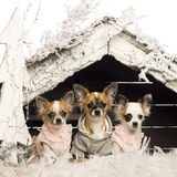 Chihuahuas dressed and sitting Royalty Free Stock Photography