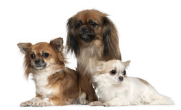 Chihuahuas e Pekingese, 1, 2, e 2 e uma metade Imagens de Stock Royalty Free