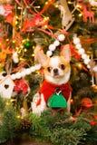 Chihuahuas in een rode kledingszitting op de achtergrond van Kerstmis Stock Foto's