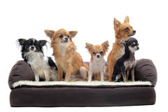 Chihuahuas en el sofá Fotografía de archivo libre de regalías