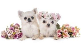 Chihuahuas en estudio Imagen de archivo