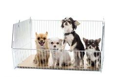 Chihuahuas en jaula Foto de archivo