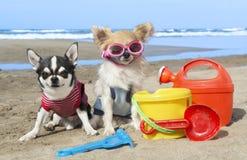 Chihuahuas en la playa Imagen de archivo libre de regalías