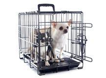 Chihuahuas en perrera Fotografía de archivo