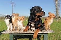 Chihuahuas en rottweiler stock foto's