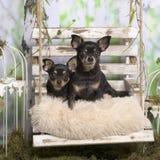 Chihuahuas en una almohada Fotos de archivo libres de regalías