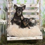 Chihuahuas en una almohada Imagen de archivo libre de regalías