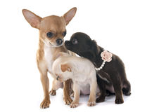Chihuahuas family Royalty Free Stock Photography