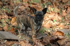 Chihuahuas. Female brindle chihuahua standing in dead leaves in autumn in the woods Royalty Free Stock Photo
