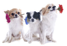 Chihuahuas and flowers Stock Photo