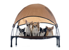 Chihuahuas on four-poster Royalty Free Stock Photo