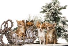 Chihuahuas framme av ett jullandskap Royaltyfria Bilder