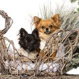 Chihuahuas framme av ett jullandskap Royaltyfri Foto