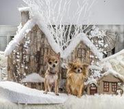 Chihuahuas Royalty Free Stock Image