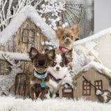 Chihuahuas Royalty Free Stock Photography