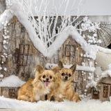 Chihuahuas Stock Photography