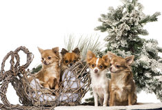 Chihuahuas in front of a Christmas scenery Royalty Free Stock Images