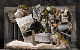 Chihuahuas Stock Images