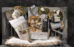 Chihuahuas Royalty Free Stock Photos