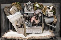 Chihuahuas Stock Photos