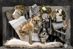 Chihuahuas Royalty Free Stock Photo