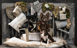 Chihuahuas Stock Image