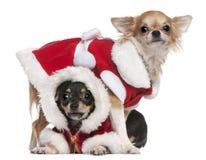 Chihuahuas gekleed in de uitrustingen van de Kerstman Stock Foto