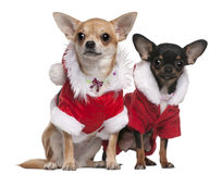 Chihuahuas gekleed in de uitrustingen van de Kerstman Stock Foto's