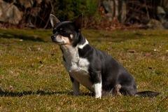 Chihuahuas gezet op een gazon Royalty-vrije Stock Afbeelding