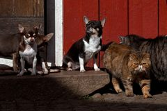 Chihuahuas gezet op een steentrap Royalty-vrije Stock Afbeeldingen