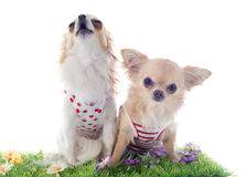 Chihuahuas in grass Royalty Free Stock Photo