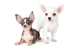 Chihuahuas hermosas Foto de archivo libre de regalías