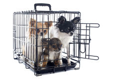 Chihuahuas in kennel Stock Images